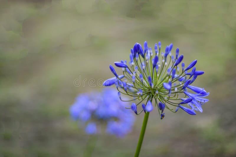Foco seletivo da flor azul africana do lírio, na máscara azul roxa foto de stock royalty free