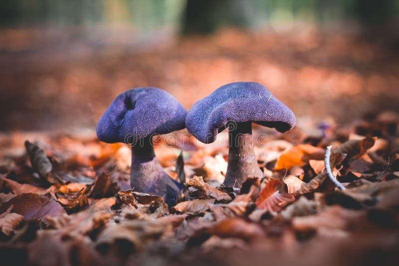 Foco seletivo de violaceus de Cortinarius dos cogumelos fotografia de stock royalty free