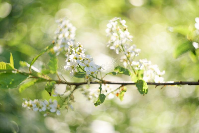 Foco seletivo do fundo da flor da árvore de cereja do burd da beleza imagens de stock