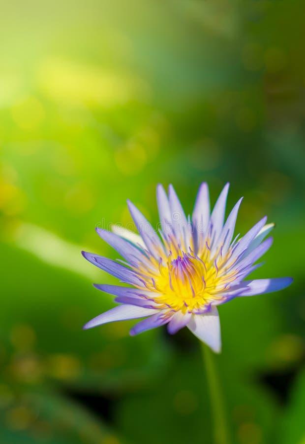 Foco seletivo em uma única flor de lótus roxa e amarela com foto de stock royalty free