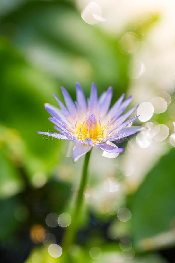 Foco seletivo em uma única flor de lótus roxa e amarela com fotos de stock