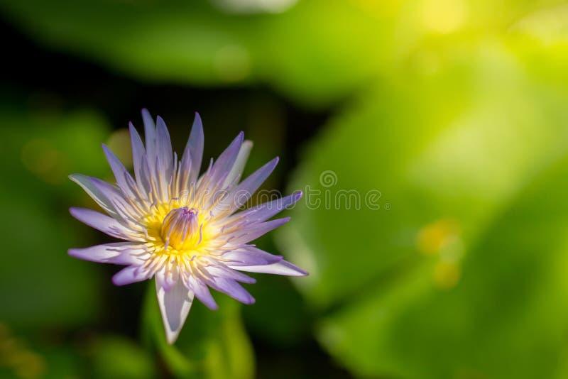 Foco seletivo em uma única flor de lótus roxa e amarela com imagens de stock
