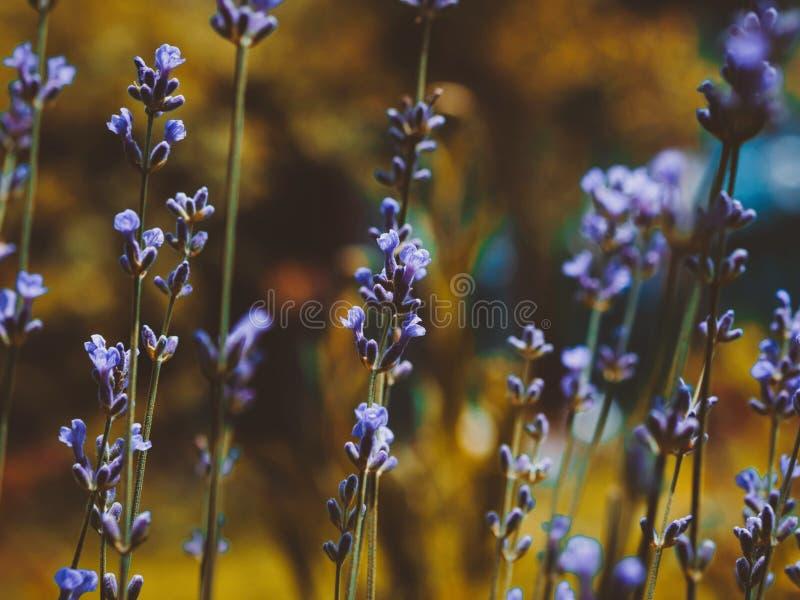 Foco seletivo na flor da alfazema no jardim dourado do outono Feche acima das flores bonitas fotos de stock royalty free