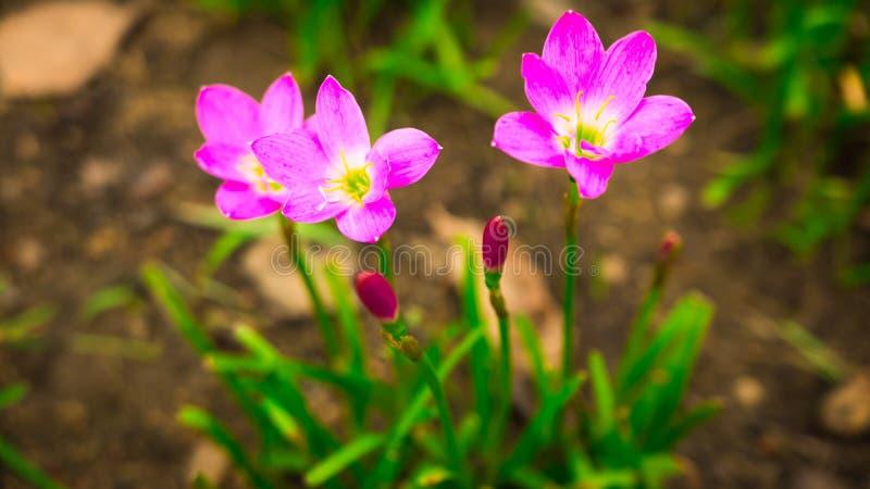 Foco seletivo Solo cor-de-rosa bonito do lírio/lótus da chuva no jardim após chover fotografia de stock