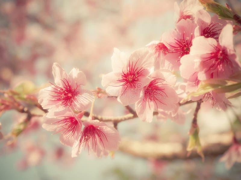 Foco suave Cherry Blossom o flor de Sakura en fondo de la naturaleza imagenes de archivo