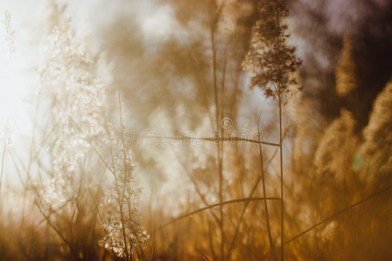 Foco suave de las cañas secas de la playa en la luz de oro de la puesta del sol foto de archivo