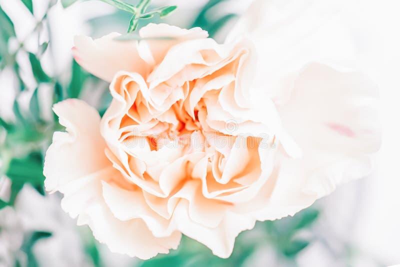 Foco suave del cierre encima de la flor rosada del clavel del melocotón Copie el espacio imagen de archivo libre de regalías