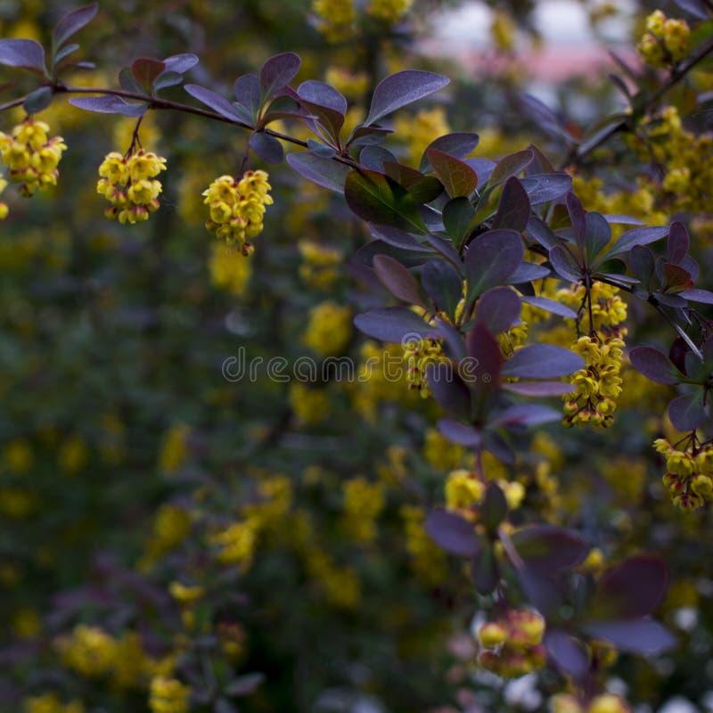 Foco suave del flor hermoso de Atropurpurea del thunbergii del Berberis de las flores de la primavera Macro de flores amarillas m imagenes de archivo