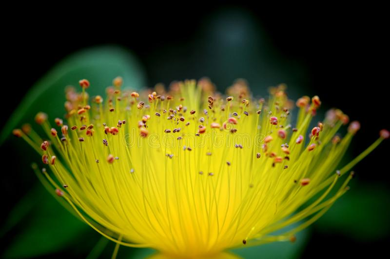 St. John`s wort flower macro showing countless stamens stock photos
