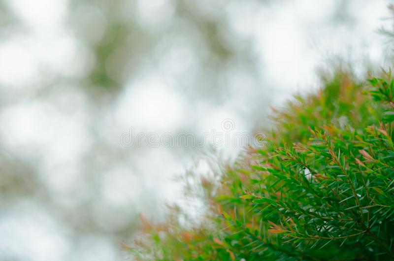 Focus and blurred photo of green and red color Honey Myrtle Melaleuca linariifolia 'Claret Tops' leaves with the background. Of bokeh light stock photography