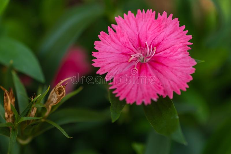 Focus Dianthus barbatus pink or Sweet William blooming in garden. Close up stock image