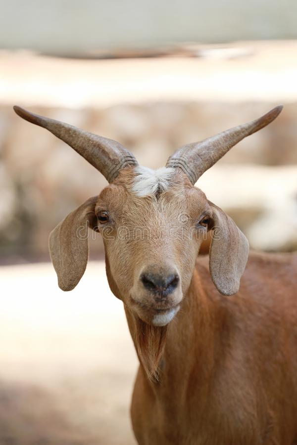 Focus of face goats. royalty free stock photos