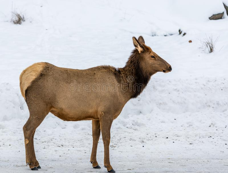 Focus On A Female Elk. In the northern winter snow background royalty free stock photography
