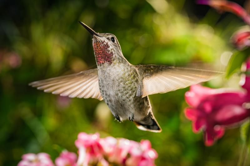 The focus of natural beauty. This is a photograph of a hummingbird hovering among flowers royalty free stock photos