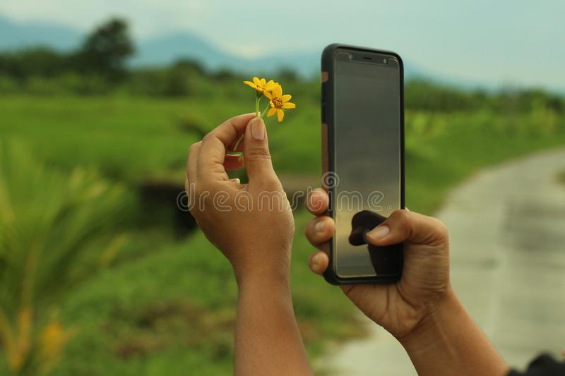 Smartphone photographer at work. Capturing two little daisy flower in hand with blurry rural view background. stock photography