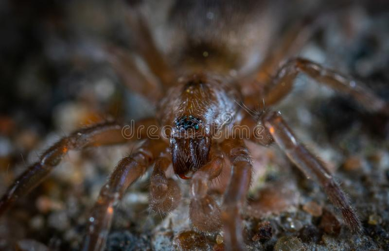 Focus Photo of Brown and Black Spider royalty free stock image