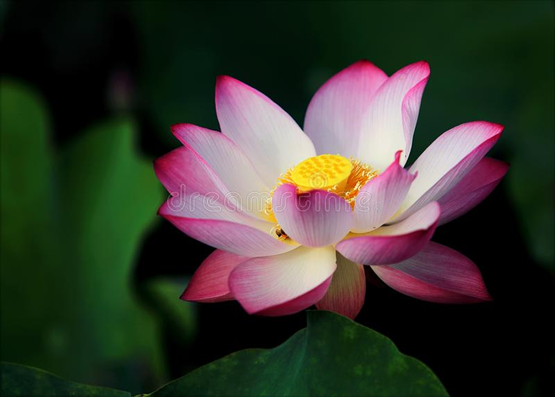 Focus Photo Pink and White Lotus Flower stock photo