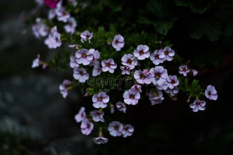 Focus Photo Purple Petaled Flowers royalty free stock images