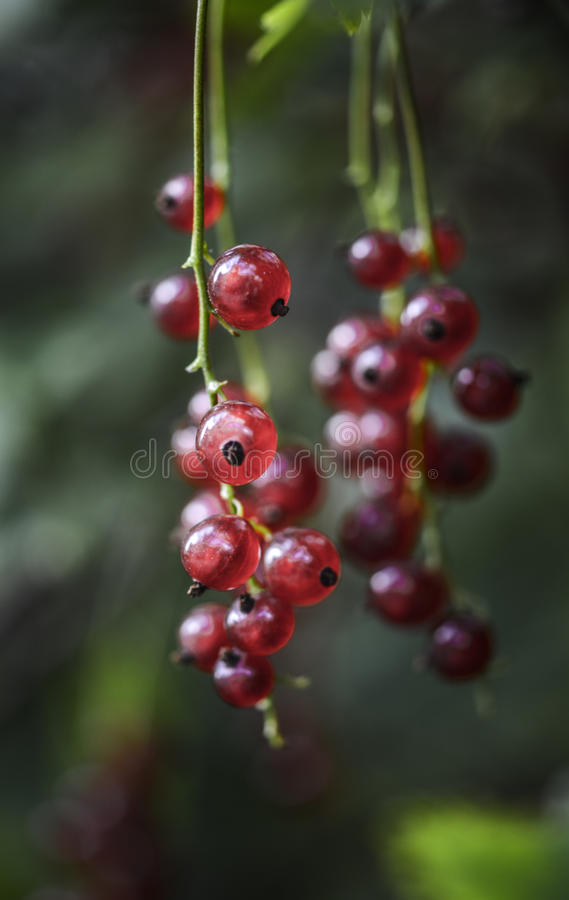 Focus Photography of Red Round Fruit stock image
