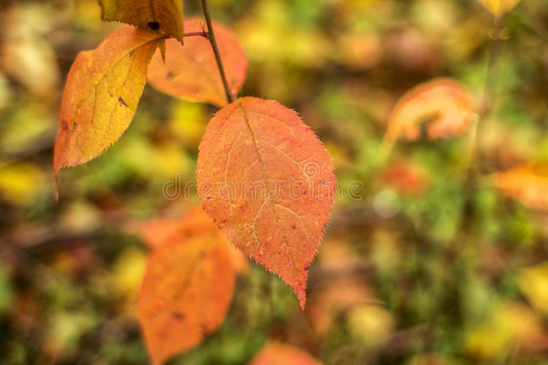 In focus a red autumn leaf of a linden tree on a blurred stock image