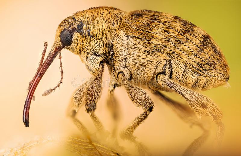 Acorn Weevil, Curculio glandium, Nut Weevil , Curculio nucum stock photos
