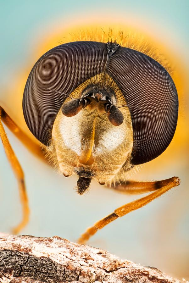 Hover Fly, Flower Flies, Syrphid Flies, Hoverflies, Diptera, Syrphidae. Focus Stacking - Hover Fly, Flower Flies, Syrphid Flies, Hoverflies, Diptera, Syrphidae royalty free stock photos