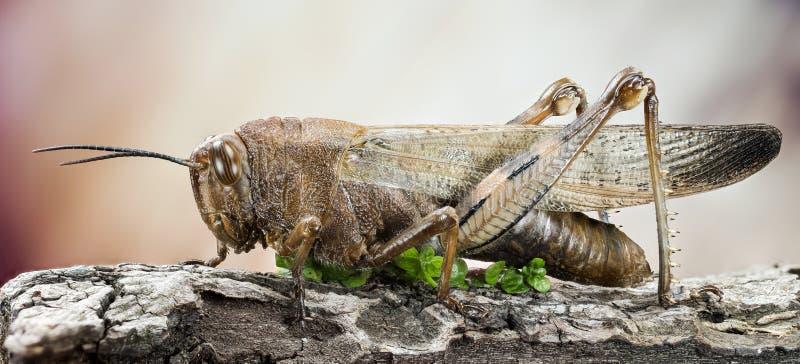 Migratory Locust, Locust, Locusta migratoria royalty free stock photos