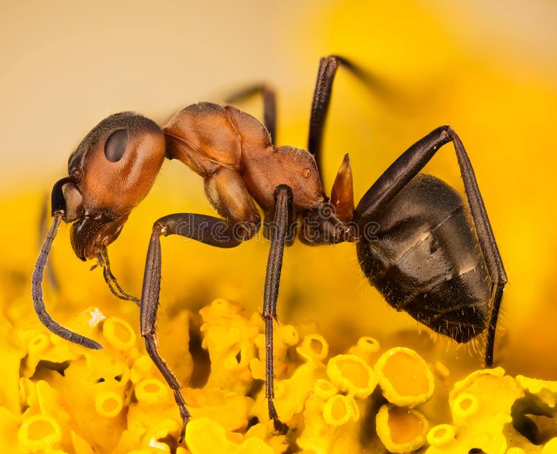Wood ant, Ant, Ants, Formica rufa royalty free stock photography