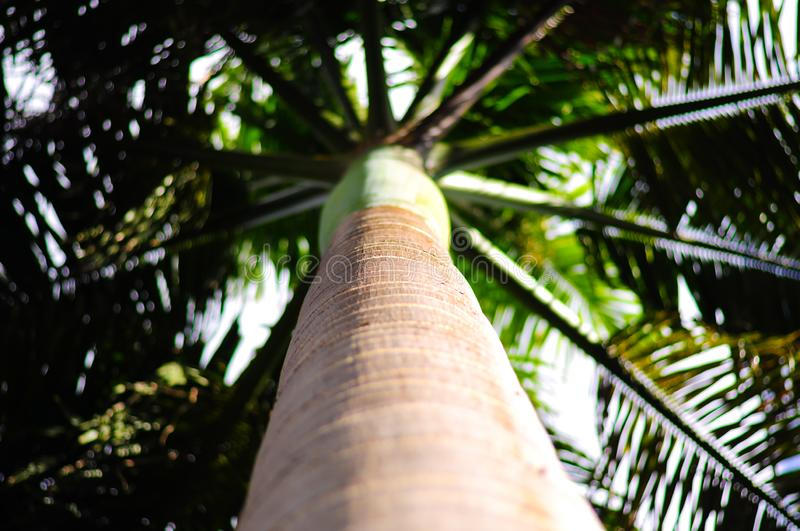 Focus on steem of South American Royal Palm from Barbados Roystonea Oleracea. Close-up seen upwards stock photos