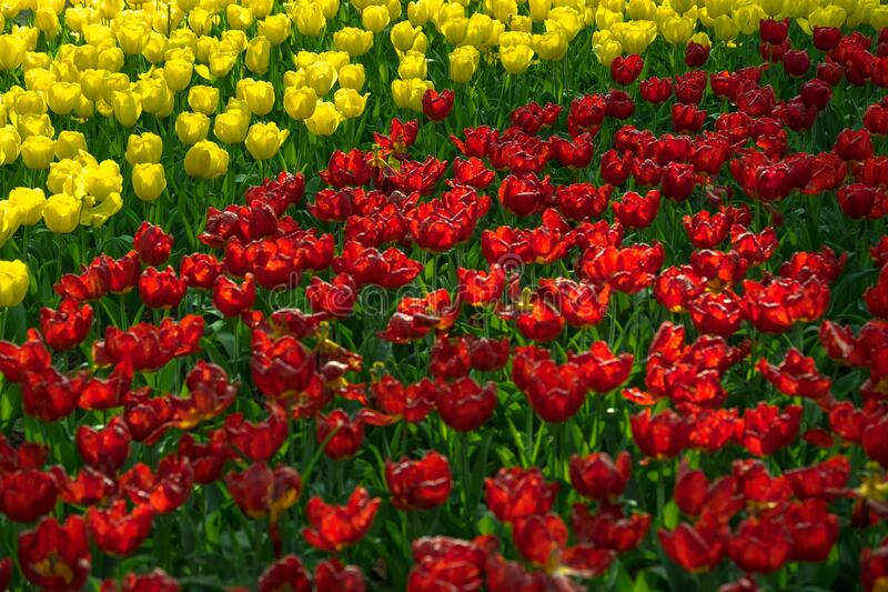 Focus tulips in garden,Sun shine to beautiful red and yellow tulips in the spring season,bright tulips flowers good natural flower stock photography