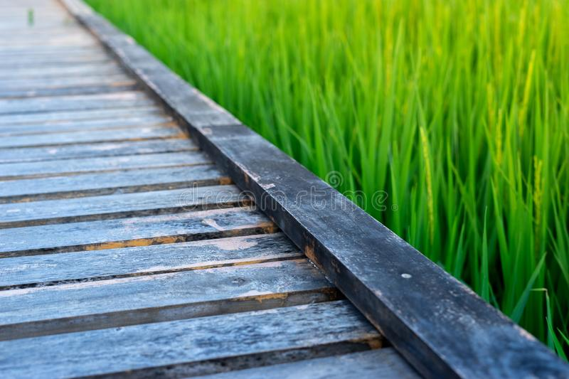 Focus of wooden walking pathway in green rice field royalty free stock images