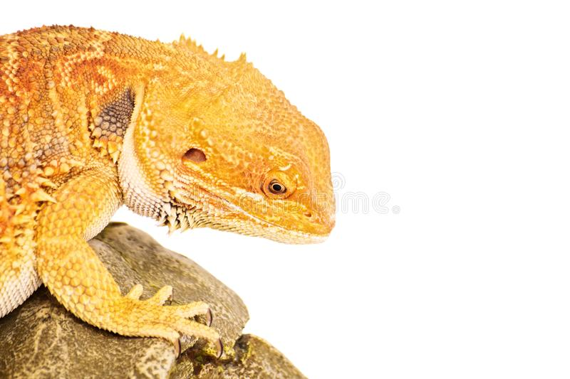 Focused bearded dragon royalty free stock photos