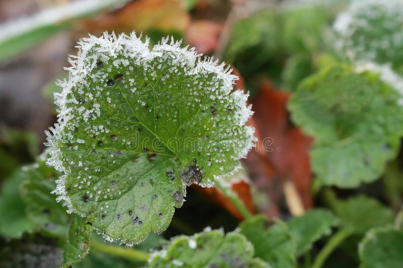 A focused green leaf of ground ivy Glechoma hederacea has a rime round its scalloped edge due to the first frost. Next blurred leaves are in the background stock images