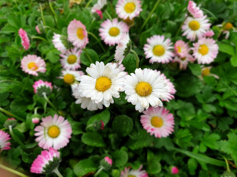 Focused marguerite flowers - springtime. Focused marguerite flowers, Springtime flowers. Background focused screensaver image. White flowers with rain drops royalty free stock photo