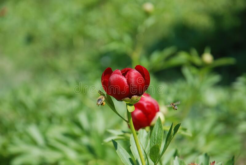 Focused Photography Of A Red Petaled Flower With Bees Flying Near It Free Public Domain Cc0 Image