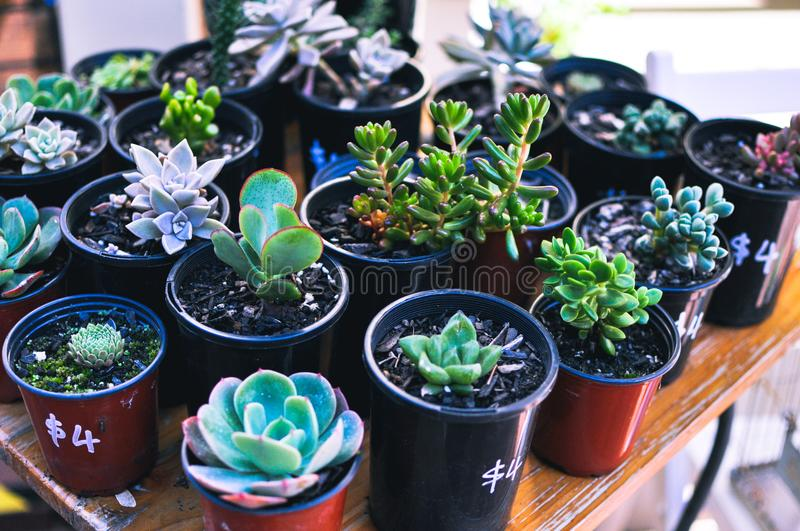 Potted succulents for sale on wooden table royalty free stock photography