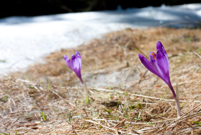 Download Focused Spring Crocus stock photo. Image of growth, color - 29420370