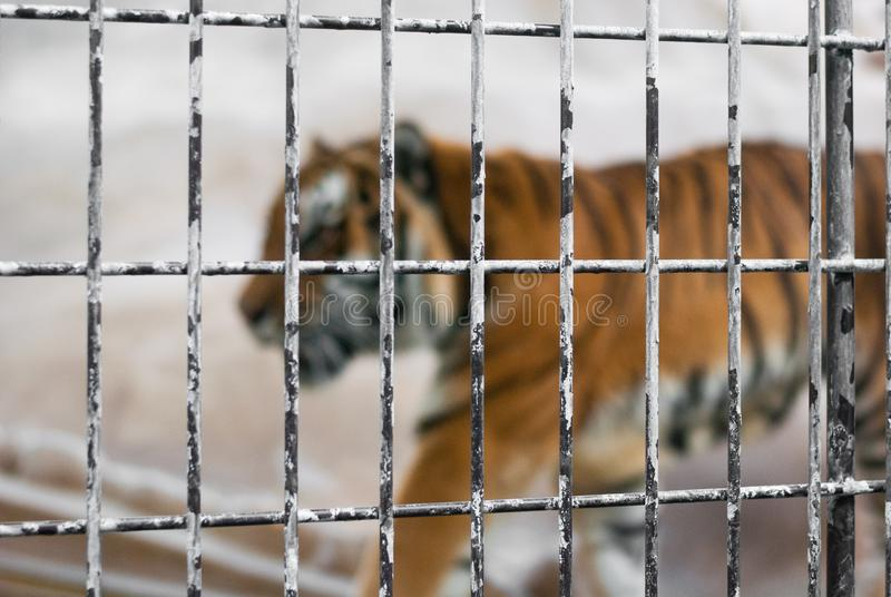 Focused steel cage in the zoo with blur big male tiger in the background, no free dom royalty free stock photo