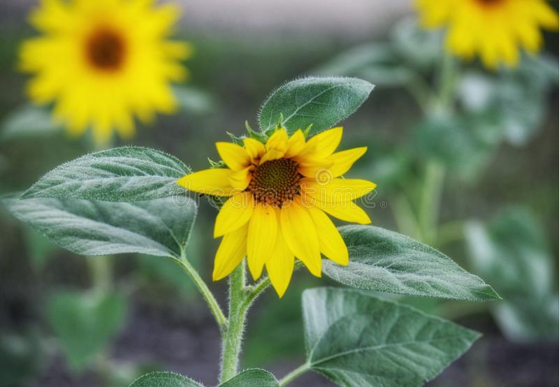 Focusing on the sunflowers stock images