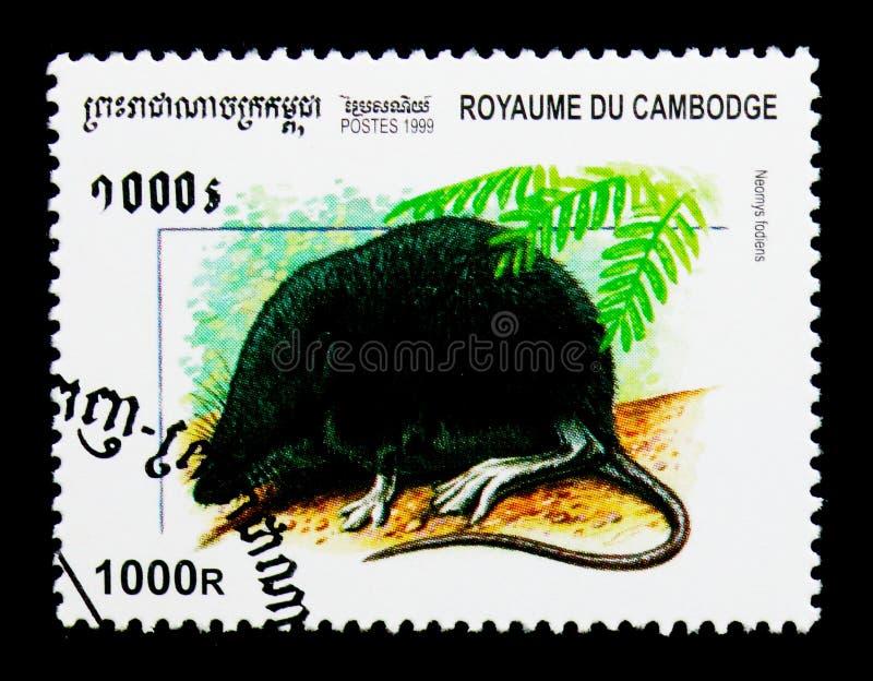 Fodiens eurasiens de Neomys de musaraigne d'eau, mammifères de serie du Cambodge, vers 1999 photos stock