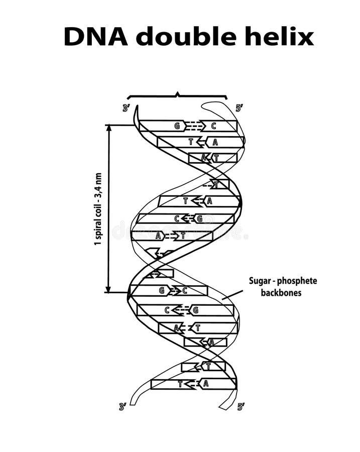 Fodrar den dubbla spiralen för DNAstrukturen i svart på vit bakgrund Nucleotide, fosfat, socker och baser grap för information om royaltyfri illustrationer