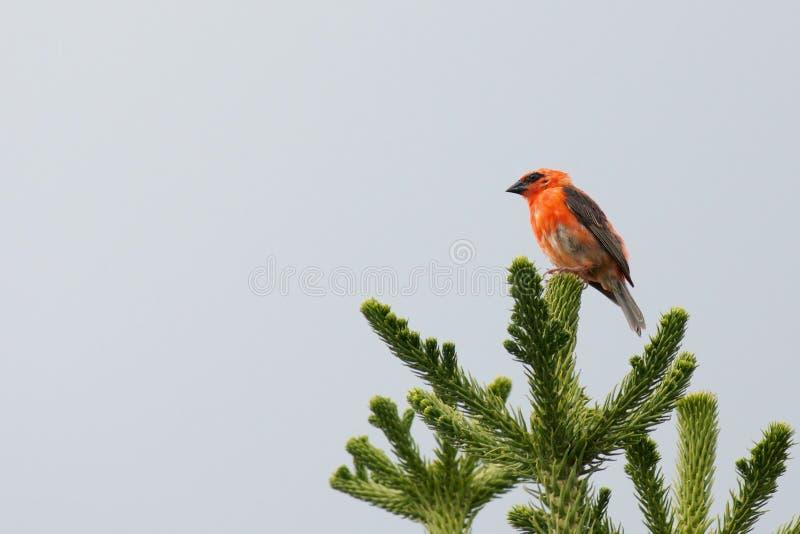 Fody rosso su un albero fotografia stock libera da diritti