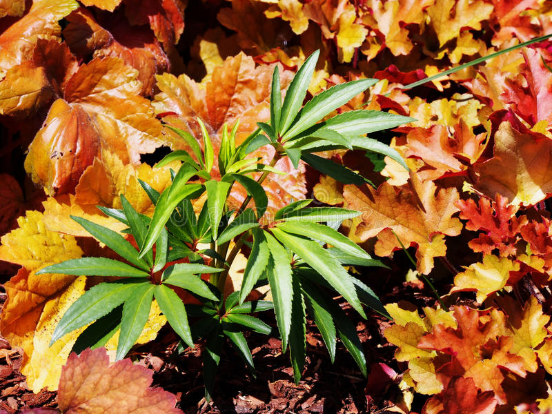 Foetidus di helleborus & x27; Wester Flisk& x27; fotografia stock