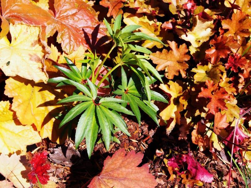 Foetidus di helleborus & x27; Wester Flisk& x27; fotografia stock libera da diritti