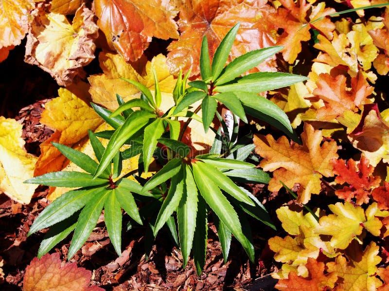 Foetidus di helleborus & x27; Wester Flisk& x27; immagini stock libere da diritti
