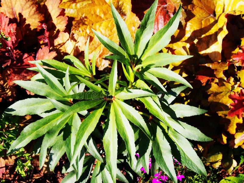 Foetidus do Helleborus & x27; Wester Flisk& x27; imagem de stock