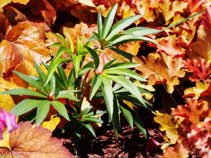 Foetidus do Helleborus & x27; Wester Flisk& x27; fotografia de stock
