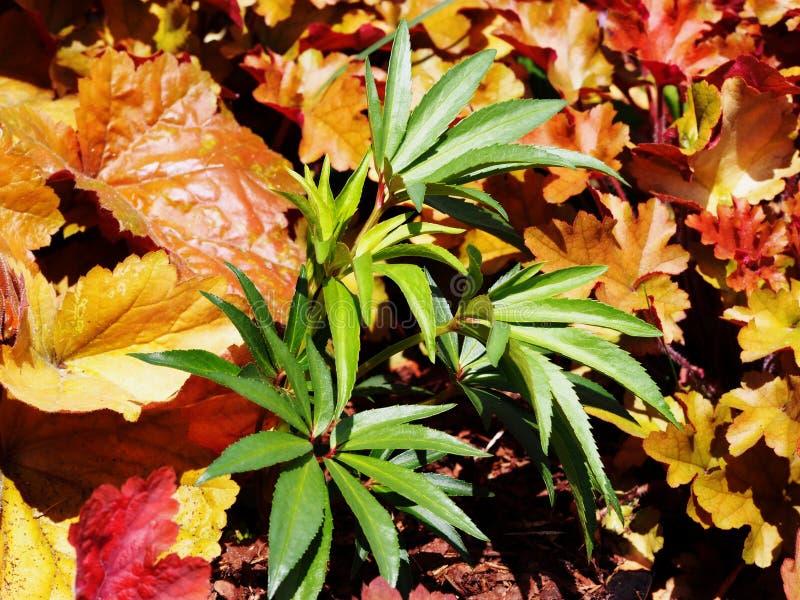 Foetidus do Helleborus & x27; Wester Flisk& x27; foto de stock