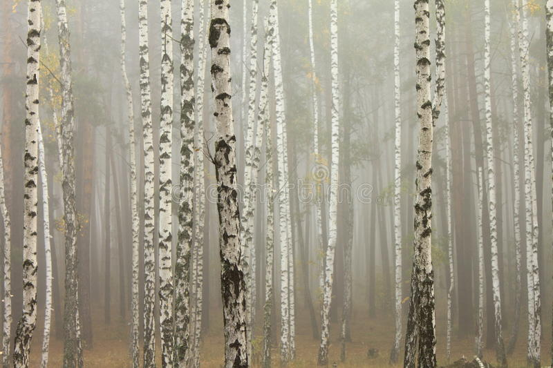 Fog in birch forest royalty free stock photo
