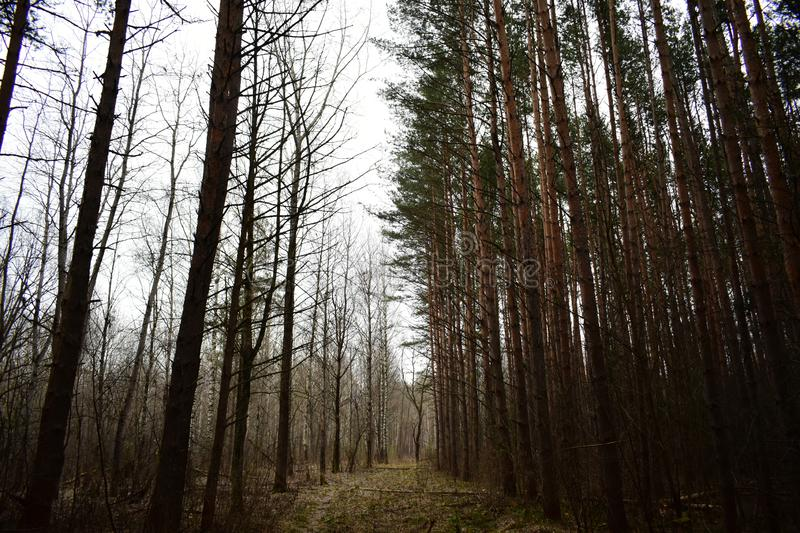 Fog clearing trail of the pine trees thin, smooth trunks of the pines standing close to each other, forming a solid. Wall stock photography